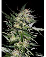 Feminized Col.4 - Advanced Seeds (2 od každého: Jack Plant, Kali 47, White Kush) - 6 ks