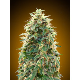 Auto 00 Cheese - 00seeds - autoflowering - 5 ks