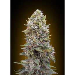 Auto Cheese Berry - 00seeds - autoflowering - 5 ks