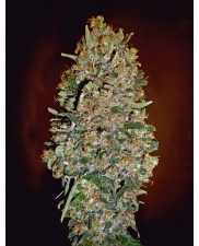 Auto Chocolate Skunk - 00seeds - autoflowering - 5 ks