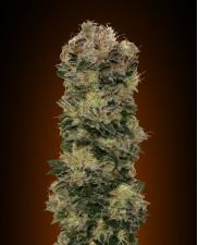 Auto Sweet Soma - 00seeds - autoflowering - 5 ks