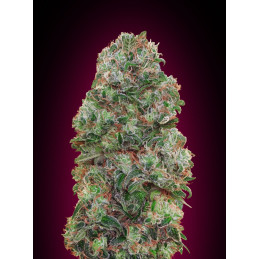 Bubble Gum - 00seeds - feminizovaná semena - 5 ks
