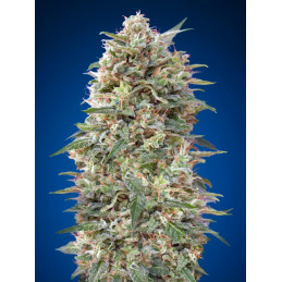 California Kush - 00seeds - feminizovaná semena - 5 ks
