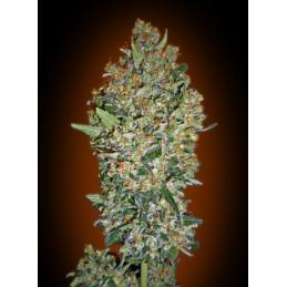 Cheese berry - 00seeds - feminizovaná semena - 5 ks