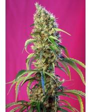 Black Jack CBD - Sweet Seeds - léčebná feminizovaná ( AKCE 3+1ks , 5+2ks )