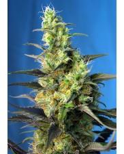 Ice cool CBD - Sweet Seeds - léčebná feminizovaná ( AKCE 3+1ks , 5+2ks )