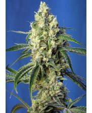 Green Poison CBD - Sweet Seeds - léčebná feminizovaná ( AKCE 3+1ks , 5+2ks )