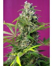 Gorilla Girl - Sweet Seeds - feminizovaná semena ( AKCE 3+1ks , 5+2ks )