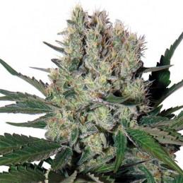 Syrup - Buddha Seeds - autoflowering
