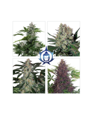 Assorted  Auto Mix - Buddha Seeds - autoflowering
