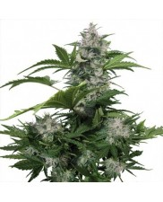White Dwarf - Buddha seeds - regular