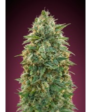 Feminized Col.5 - Advanced Seeds (2 od každého: Amnesia,Critical Lemon,Skunk 47) - 6 ks