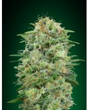 White Widow CBD - 00seeds - feminizovaná léčebná semena - 5 ks