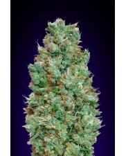 Auto Blueberry- 00seeds - autoflowering - 5 ks
