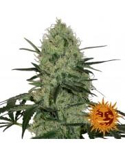 Tangerine Dream Auto ™ - Barney´s Farm - autoflowering