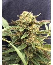 CBD Therapy - CBD Crew - feminizovaná semena - 5 ks