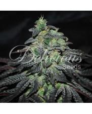 Golosa ® - Delicious Seeds - feminizovaná semena - indica