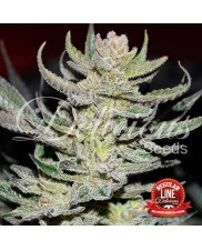 Unknown Kush Regular ® - Delicious Seeds - regular