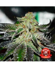Original Juan Herer Regular ® - Delicious Seeds - regular