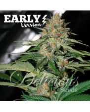 Delicious Candy Early Version ® - Delicious seeds - feminizovaná Fast Version semena