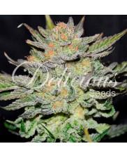 Auto Blue Ace CBD ®- Delicious Seeds - léčebná semena