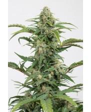 Dinamed CBD Autoflowering - Dinafem - léčebná  autoflowering semena