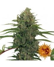 Critical Kush Auto - Barney´s Farm - autoflowering