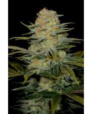 Amnesia CBD fem. - Dinafem - léčebná semena