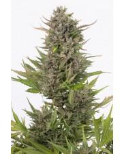 Critical + Autoflowering CBD - Dinafem - léčebná  autoflowering semena