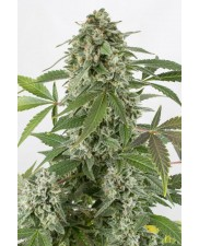 White Widow Automatic - Dinafem - autoflowering
