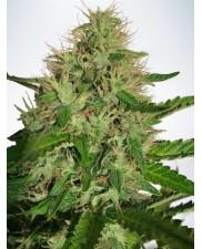 Cannabis Light - Ministry of Cannabis - feminizovaná semena
