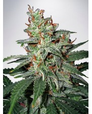 Carnival - Ministry of Cannabis - feminizovaná semena