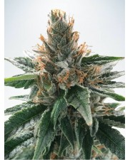 God's Glue - Ministry of Cannabis - feminizovaná semena