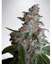 Northern Lights MOC - Ministry of Cannabis - feminizovaná semena