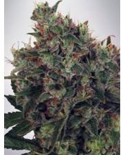 Ultra White Amnesia - Ministry of Cannabis - feminizovaná semena