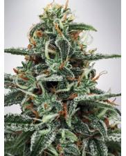 White Widow - Ministry of Cannabis - feminizovaná semena
