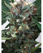 Zensation - Ministry of Cannabis - feminizovaná semena