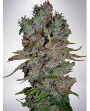 Auto Blueberry Domina - Ministry of Cannabis - autoflowering