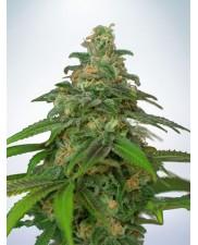 Auto Mandarin Haze - Ministry of Cannabis - autoflowering