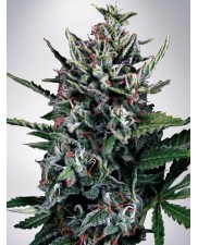 Auto Silver Bullet - Ministry of Cannabis - autoflowering