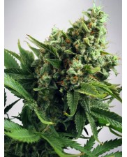 Auto White Widow - Ministry of Cannabis - autoflowering