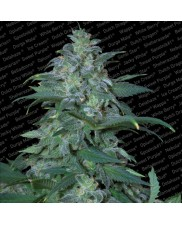 Magic Bud - Paradise Seeds- feminizovaná semena