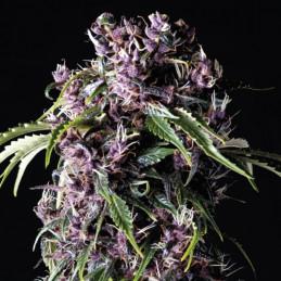 Purple - Pyramid Seeds - feminizovaná semena
