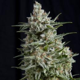 Anesthesia CBD - Pyramid Seeds - léčebná  feminizovaná semena