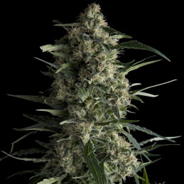 Galaxy CBD - Pyramid Seeds - léčebná  feminizovaná semena