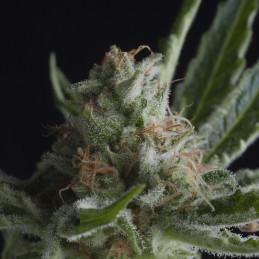 Shark CBD - Pyramid Seeds - léčebná  feminizovaná semena