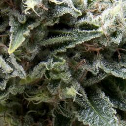 Auto New York City CBD - Pyramid Seeds - léčebná autoflowering semena