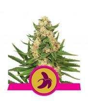 Fat Banana - Royal Queen Seeds - feminizovaná semena