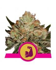 HulkBerry - Royal Queen Seeds - feminizovaná semena