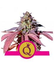 Purple Queen - Royal Queen Seeds - feminizovaná semena